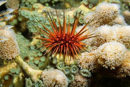 Reef urchin underwater Caribbean sea